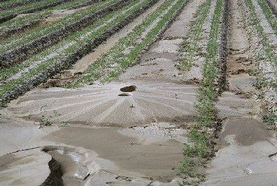Figure 1: Mud boils caused by liquefaction (From the Karl V. Steinbrugge Collection, Earthquake Engineering Research Center, UC Berkeley).